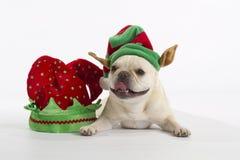 French Bulldog Elf. Little blonde French Bulldog wearing an elf hat royalty free stock image