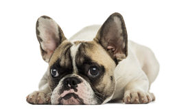 French Bulldog facing, lying, isolated Royalty Free Stock Photos