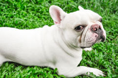 French bulldog. Fench bulldog on the floor Stock Images