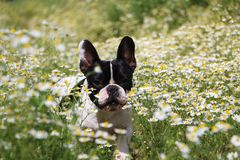 French bulldog in a field of flowers Stock Image