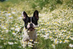 French bulldog in a field of flowers Royalty Free Stock Photography