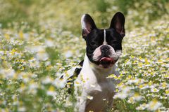 French bulldog in a field of flowers Royalty Free Stock Image