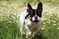 French bulldog in a field of flowers Stock Photography