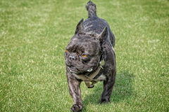 French bulldog fierce look. French bulldog with fierce look walks on a lawn royalty free stock photography
