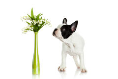 French bulldog with flowers isolated on white background dog Stock Photography