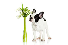 French bulldog with flowers isolated on white background dog Royalty Free Stock Image