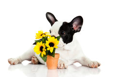French bulldog with flowers isolated on white background Royalty Free Stock Images