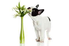 French bulldog with flowers isolated on white background Stock Image