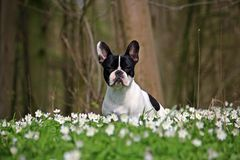French bulldog in forest Stock Image