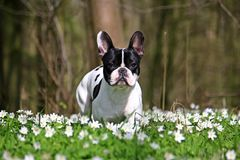 French bulldog in forest Royalty Free Stock Image