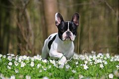 French bulldog in forest Stock Images