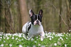 French bulldog in forest Stock Photos