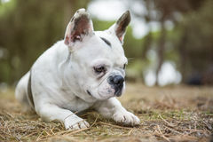 French bulldog in the forest. French bulldog playing in the forest Royalty Free Stock Photography