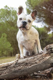 French bulldog in the forest. French bulldog playing in the forest Stock Photo