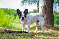 French bulldog in the forest Stock Images