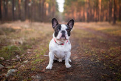 French bulldog in the forest. French bulldog on the walk in forest Stock Photo