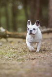 French bulldog in the forest. French bulldog walking in the forest Royalty Free Stock Image