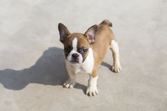 French Bulldog. The French Bulldog FRENCH BULLDOG is a lively, smart, muscular dog with heavy bones, smooth hair, compact structure, medium or small size. The royalty free stock images