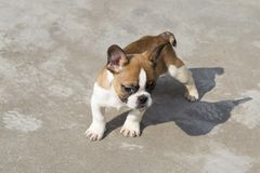 French Bulldog. The French Bulldog FRENCH BULLDOG is a lively, smart, muscular dog with heavy bones, smooth hair, compact structure, medium or small size. The royalty free stock photos