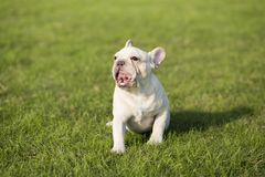 French Bulldog. Heavy bone, smooth coat, compact structure.  hair short and fine and glossy, color is yellowish brown Tabby, white, etc.. Taller than the stock photography