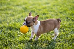 French Bulldog. The French Bulldog is a lively, smart, muscular dog with heavy bones, smooth hair, compact structure, medium or small size. The expression royalty free stock photo