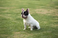 French Bulldog. The French FRENCH BULLDOG is a lively, intelligent and muscular dog with heavy bones, smooth hair, compact structure, medium or small size. The stock images