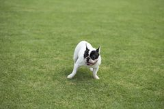 French Bulldog. The French FRENCH BULLDOG is a lively, intelligent and muscular dog with heavy bones, smooth hair, compact structure, medium or small size. The royalty free stock photos