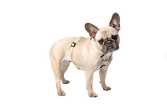 French bulldog (frenchie) Royalty Free Stock Photos