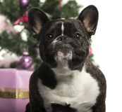 French Bulldog in front of Christmas decorations Stock Photography