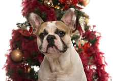 French Bulldog in front of a Christmas tree Royalty Free Stock Photo