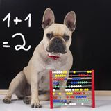 French bulldog in front of a l black board. French bulldog in front of a school black board Royalty Free Stock Image