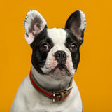 French Bulldog in front of an orange background Stock Image