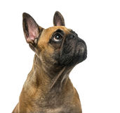 French Bulldog in front of a white background Stock Photography