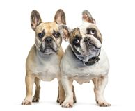 French Bulldog in front of white background. Isolated on white royalty free stock photo