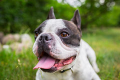 French bulldog in the garden. French bulldog lying down in the garden Royalty Free Stock Images