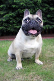 French bulldog in a garden portrait Stock Photography