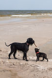 French Bulldog with Giant Schnauzer. Royalty Free Stock Images