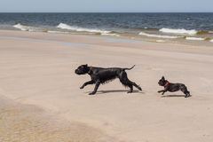 French Bulldog with Giant Schnauzer. Stock Photography