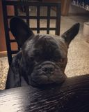 French bulldog. Give me dinner soon royalty free stock photo
