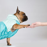 French bulldog giving his paw to owner Royalty Free Stock Photo