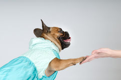 French bulldog giving his paw to owner Stock Photo