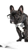 French Bulldog in glasses and a bow tie Royalty Free Stock Images