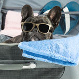 French bulldog with glasses Royalty Free Stock Images