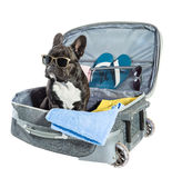 French bulldog with glasses Stock Photography