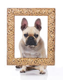 French bulldog with a golden Frame Royalty Free Stock Photos