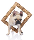 French bulldog with a golden Frame Stock Photography
