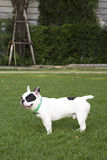 French bulldog in grass field Stock Photo