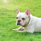 French bulldog on  grass field Stock Image