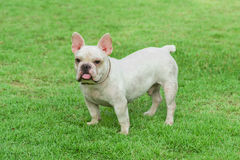 French bulldog on  grass field Royalty Free Stock Photos