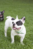 French bulldog in grass field Royalty Free Stock Photo
